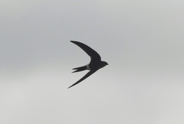 Pacific Swift2