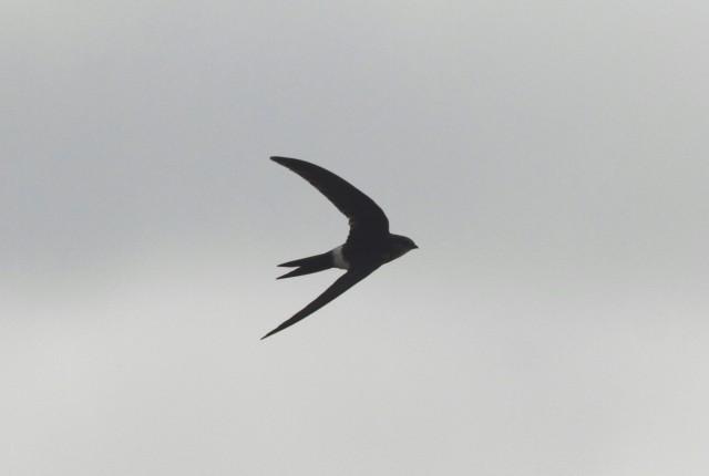 Pacific Swift2