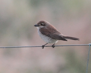 red backed Shrike female skaw