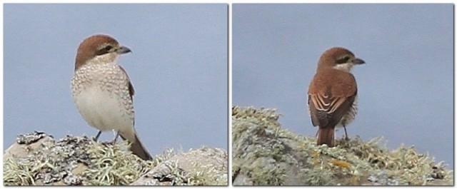 red backed Shrike female Sumburgh Hotel May 13
