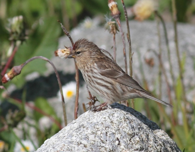 Redpoll Sumburgh June 2013