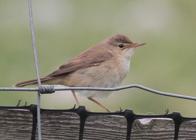 Reed Warbler c Skaw, Unst May 2013