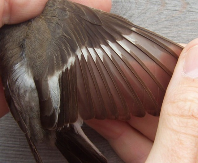 The open wing. What a wingbar! A broad band of white on P4 with a clear spot on P3. Pied typically shows white to P6 to P7, 'sometimes P5, extremely rarely a white spot concealed at the base of P4' (Svensson). Note also the two ages of greater coverts - the replaced inner ones are presumably prebreeding, but are the older ones adult post- breeding or juvenile? Any ringers out there with lots of experience? Would be good to have any opinions.