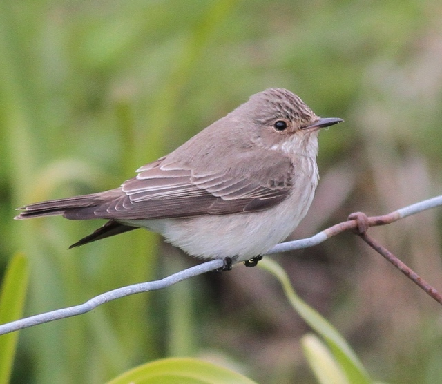 Spotted Flycatcher  May 13