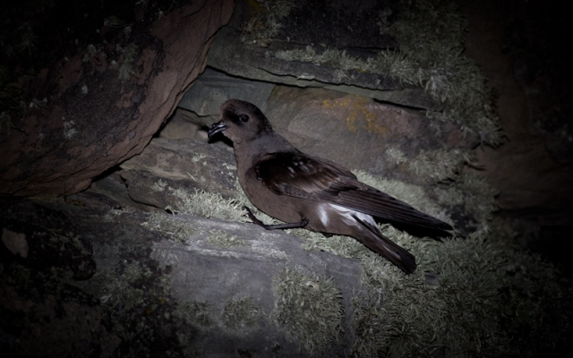 Storm-Petrel-by-David-Gifford