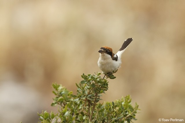 Woodchat Shrike female ssp. niloticus