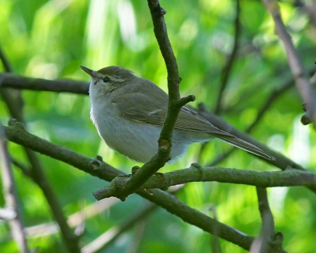 a Greenish Warbler Quendale May 2013