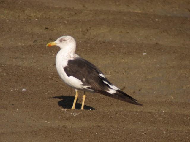 adult Baltic Gull MM Israel nov 13