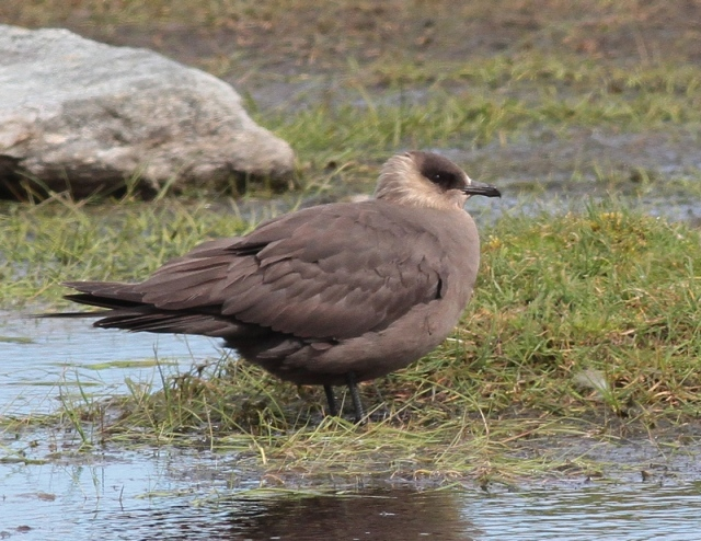 Arctic Skua Unst may 2013