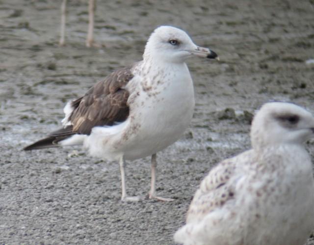 Baltic gull 1