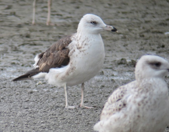 Baltic gull 1