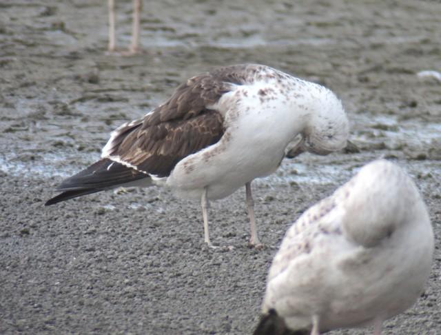 Baltic Gull 2