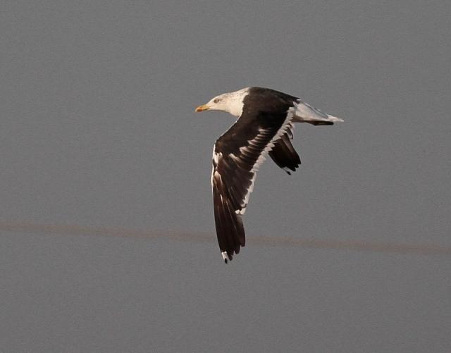 Baltic Gull MM 4 Israel Nov 13
