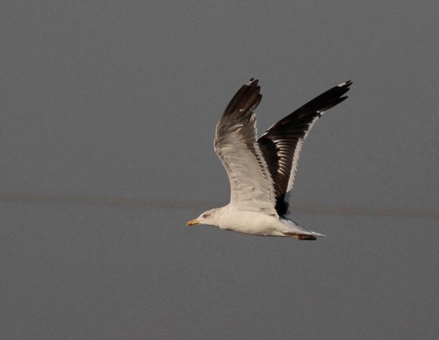 Baltic Gull MM 5 Israel Nov 13