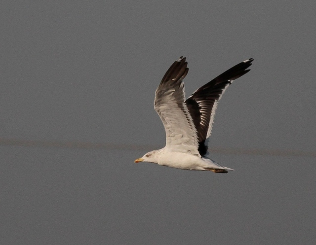 Baltic Gull MM 5 Israel Nov 13