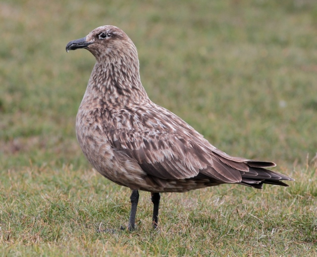 Bonxie 2 Hermaness June 13