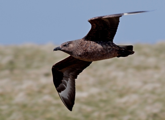Bonxie 4 Hermaness June 13