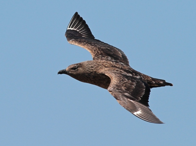 Bonxie 5 Hermaness June 13