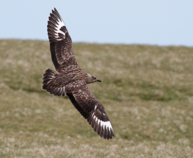 Bonxie Hermaness June 13