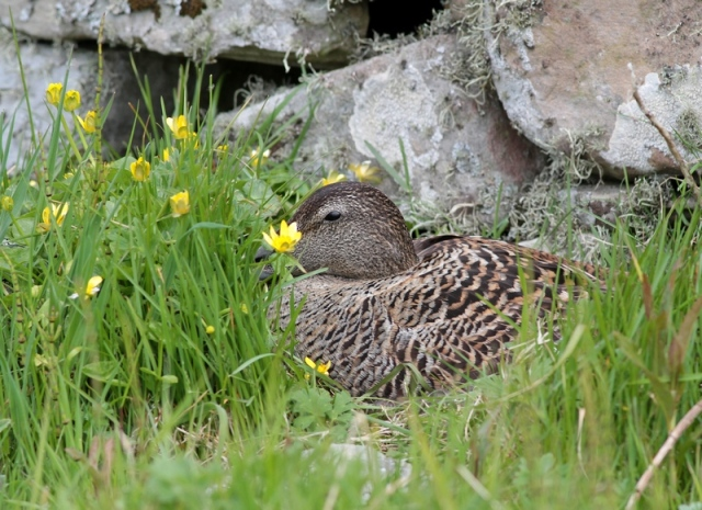 female Eider Sumburgh may 13