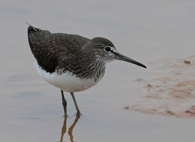 Green Sandpiper Thormwick Pool 21.7.13