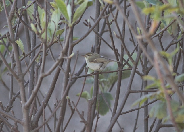 Greenish Warbler  2Quendale May 2013