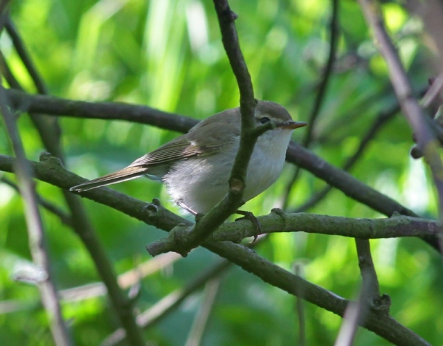Greenish Warbler  3 Quendale May 2013