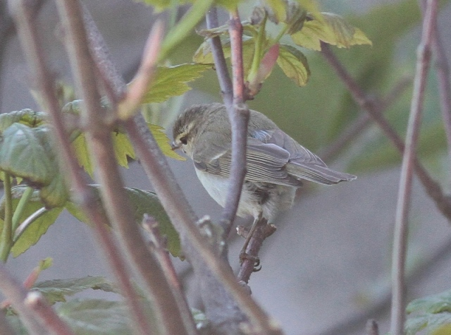 Greenish Warbler  4 Quendale May 2013