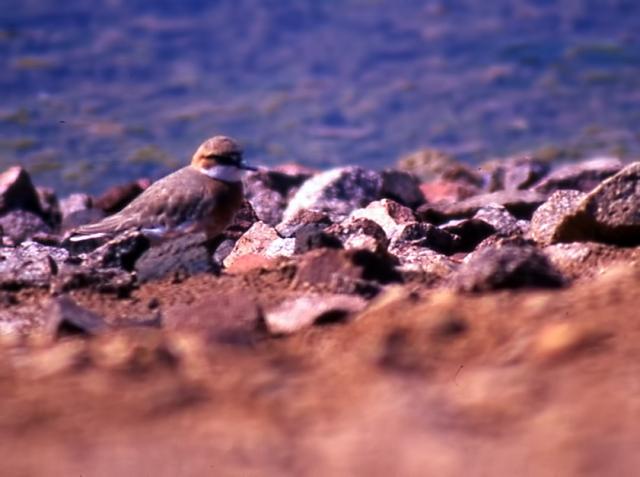 Lesser Sand Plover_10_08_2000_K20