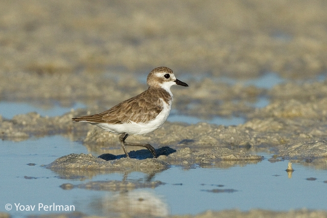 Lesser Sand-plover in winter plumage