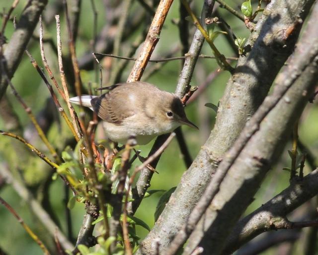 Marsh Warbler a Quendale spring 2013