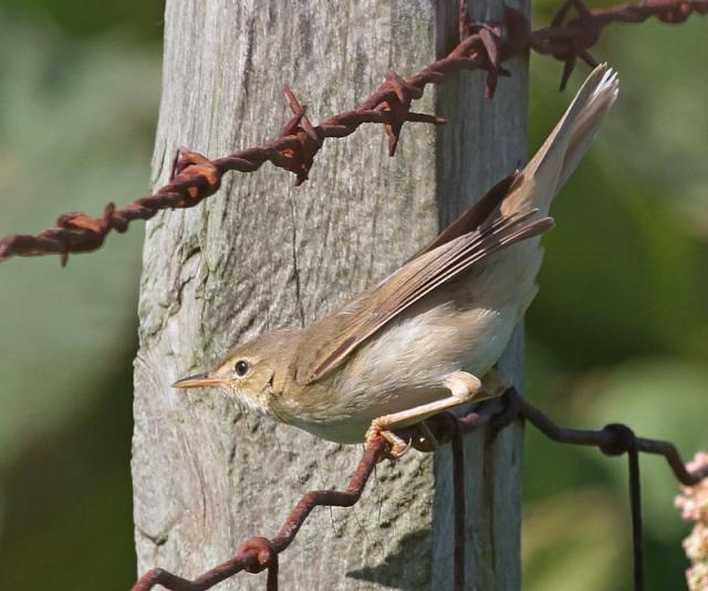 Marsh Warbler d Quendale spring 2013