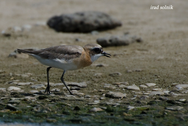 columbinus Greater Sand-plover