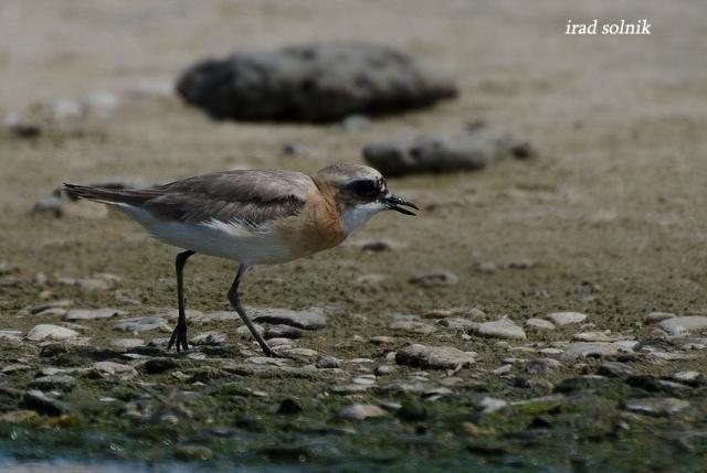 columbinus Greater Sand-plover