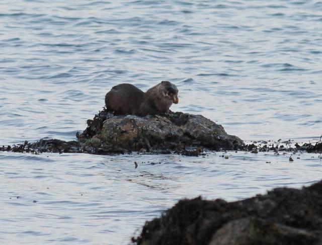 Otter Unst June 13