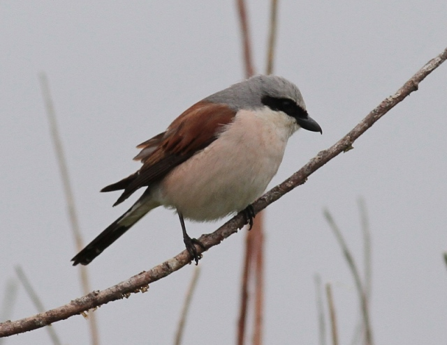 Red backed Shrike spiggie