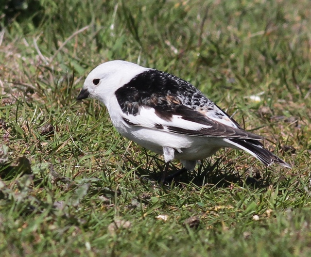 Snow Bunting Sumburgh May 2013