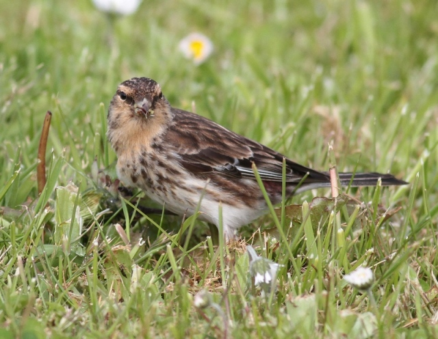 Twite male Sumburgh June 13