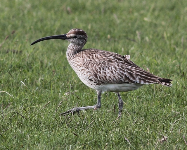 Whimbrel Unst June 13