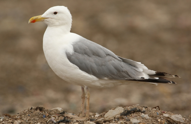 08-10-2013 Caspian Gull Adult Pitsea Tip Standard 687