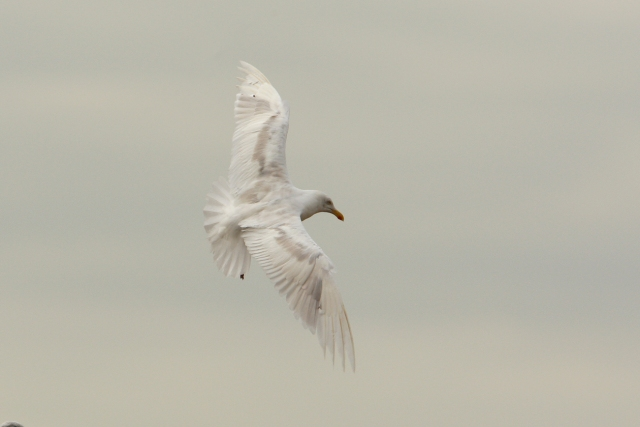 08-10-2013 Herring Gull Leucistic adult Pitsea Tip Standard 147
