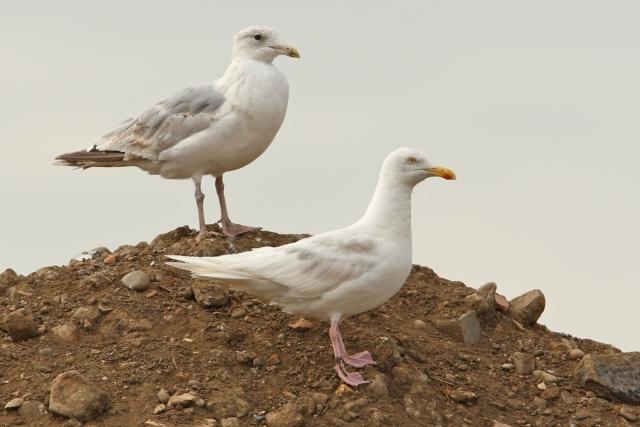 08-10-2013 Herring Gull Leucistic adult Pitsea Tip Standard 169