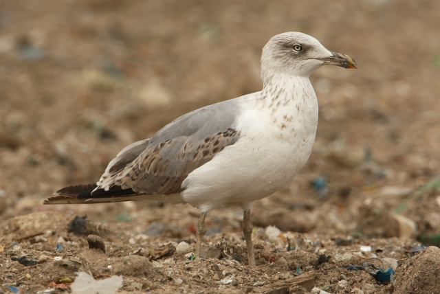 08-10-2013 Yellow-legged Gull 2nd year Standard 472