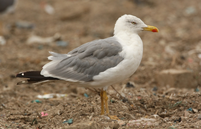 08-10-2013 Yellow-legged Gull adult Standard 408