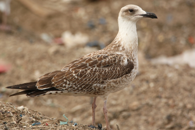 08-10-2013 Yellow-legged Gull juvenile Standard 289