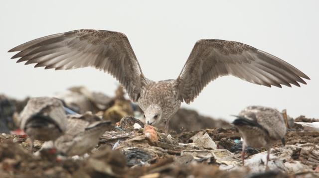 08-25-2013 Caspian Gull juvenile Pitsea Tip WEB 054