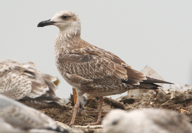 08-25-2013 Caspian Gull juvenile Pitsea Tip WEB 089