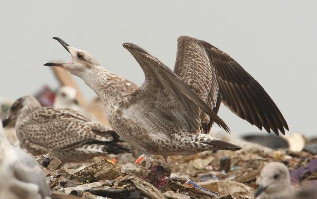 08-25-2013 Caspian Gull juvenile Pitsea Tip WEB 133
