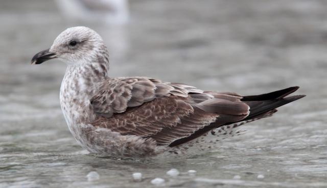 cape gull1