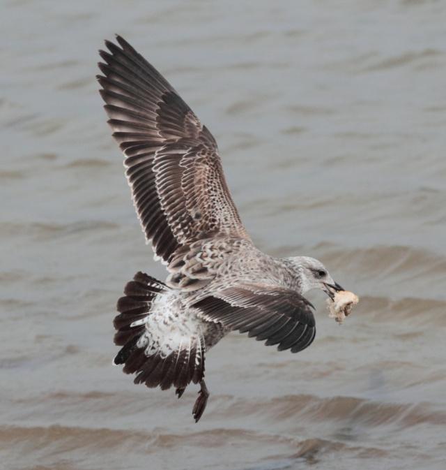 cape gull2 june 13